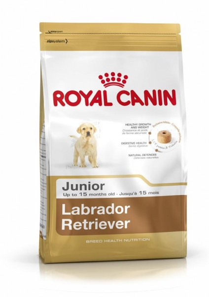 Labrador Retriever junior (Hund)